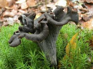 Mycodb cl de d termination des familles de champignons - Cuisiner des trompettes de la mort ...