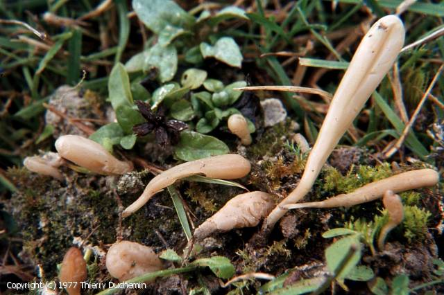 Clavaria tenuipes (Clavaria_tenuipes_1977_td_1.jpg)
