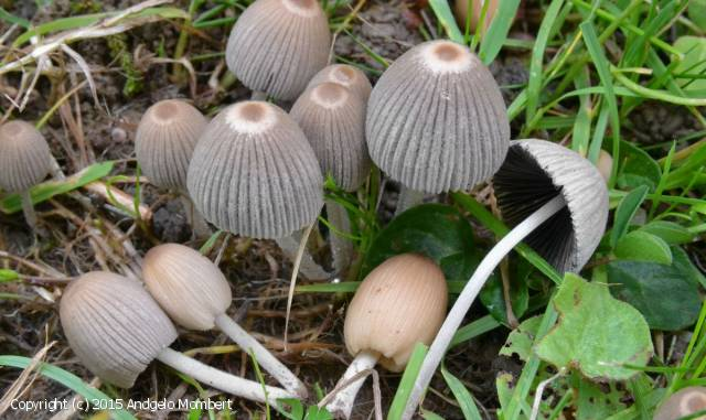 Coprinellus hiascens (Coprinellus_hiascens_2015_am_1.jpg)