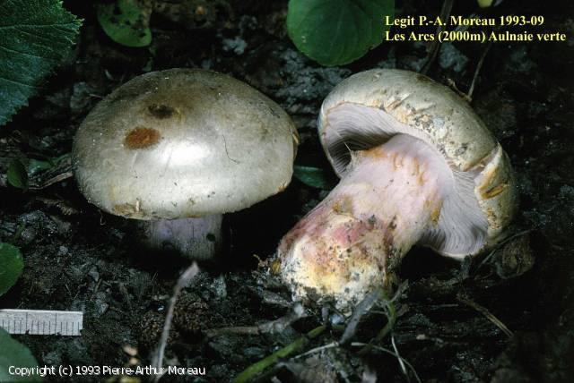 Cortinarius alnobetulae (Cortinarius_alnobetulae_1993_pm_1.jpg)