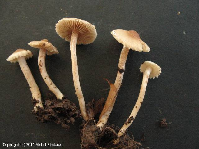 Inocybe descissa (Inocybe_descissa_2011_mr_1.jpg)