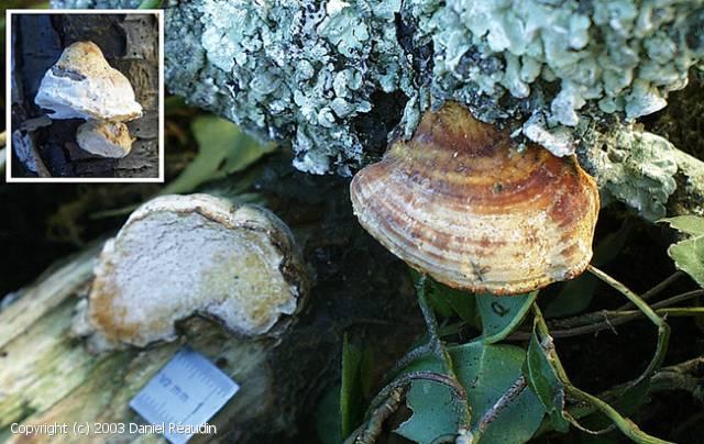 Perenniporia ochroleuca (Perenniporia_ochroleuca_2003_dr_1.jpg)