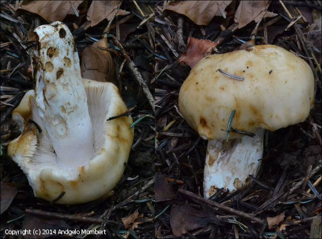 Russula fragrantissima (Russula_fragrantissima_2014_am_1.jpg)